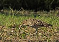 Storspov Eurasian Curlew (20324059496).jpg