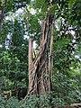 Strangling fig, Narcondam Island.jpg
