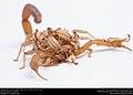Striped Bark Scorpion (Buthidae, Centruroides vittatus (Say)) (36072002114).jpg