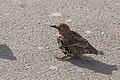 Sturnus vulgaris (Common Starling) - 20150801 17h07 (10634).jpg