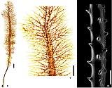 Adinocrada coral