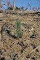 Sugar Pine planted on the San Bernadino NF (3812175891).jpg
