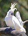 Sulpher Crested Cockatoo.jpg