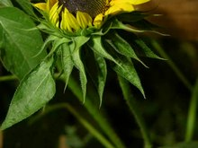 Archivo:Sunflower Flower Opening Time Lapse.ogv