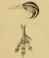 Sungrebe head and foot detail.png