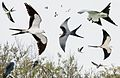 Swallow-tailed Kite From The Crossley ID Guide Eastern Birds.jpg