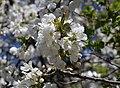 Sweet-cherry bloom 2020 G1.jpg