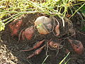 Sweet potatoes exposed - DSCF7299.JPG