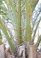 Sylvestrisacanthophylls.jpg