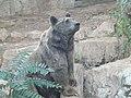 Syrian brown bear hybrid 06.jpg
