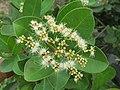 Syzygium caryophyllatum - South Indian Plum at Mayyil (7).jpg