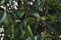 Syzygium hemisphericum-വെള്ളഞാറ.jpg