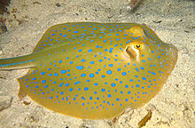 Photo of a stingray lying on sand, showing its oval shape and brilliant blue spots