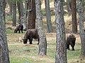 Takin, Thimphu mini-zoo.jpg