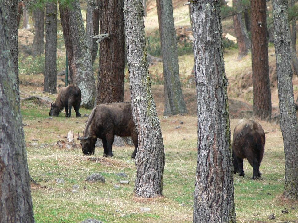 Takin, Thimphu mini-zoo