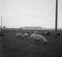 Talbiseh (background) and sheep grazing (foreground), 1930s