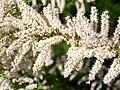 Tamarix canariensis Inflorescencia ArgamasillaCalatrava.jpg