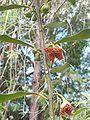 Tambourissa elliptica maleflowers 02.JPG