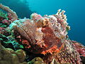 Tassled scorpionfish at Manta Alley.JPG