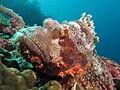 Tassled scorpionfish at Manta Alley.JPG