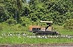 Taun-Gusi-2 Sabah Ploughing-the-rice-paddies-03.jpg