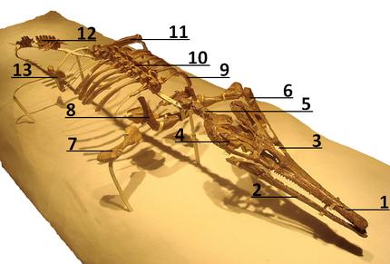 Skelet van Tchoiria