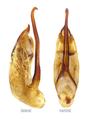 Tetartopeus terminatus (Gravenhorst, 1802) Genital.png