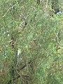 Tetraclinis articulata del palau de Pedralbes P1480429.JPG