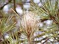 Thaumetopoea pityocampa nest.jpg
