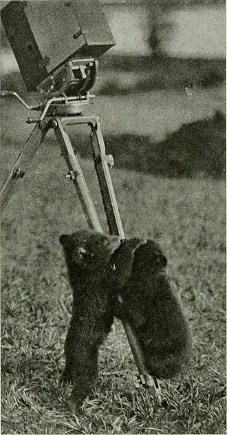"Tibetan blue bear - 1917 photo caption reads, ""Two Tibetan Bear cubs"" which appear to be Ursus arctos pruinosus or Tibetan Blue Bear"