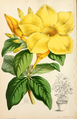 The Floral magazine- comprising figures and descriptions of popular garden flowers. Allamanda cathartica as A. wardeleana.png