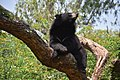 The Himalayan black bear (Ursus thibetanus) is a rare subspecies of the Asiatic black bear. 28.jpg