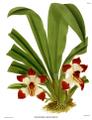 The Orchid Album-01-0053-0017-Pescatorea klabochorum.png