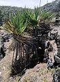 The Rodrigues Screwpine - Pandanus heterocarpus - Anse anglaise 1.jpg