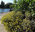 The Thames at Kingston. - panoramio.jpg