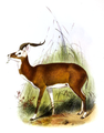 The book of antelopes (1894) Cobus leucotis.png