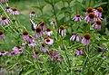 Three Creeks - Papilio glaucus (female) on Echinacea purpurea 1.jpg