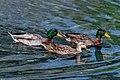 Three Swimming Mallards ABDS-DK-MD-6.jpg