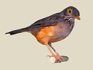 Bare-eyed thrush Species of bird
