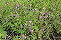 Thymus marschallianus - Lipetsk obl., June 2016.JPG