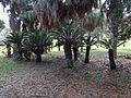 Tift Park sago palms and date palms.JPG