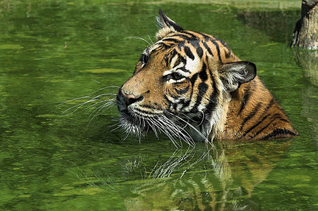 Swimming tiger in Dortmund zoological garden