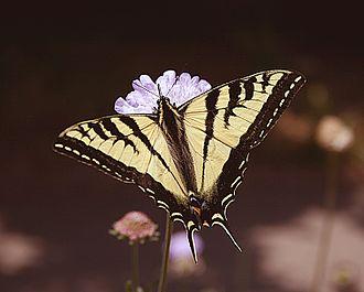 Papilio appalachiensis - P.canadensis