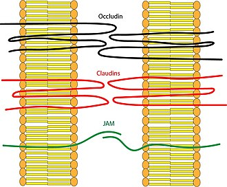 Tight junction - Depiction of the transmembrane proteins that make up tight junctions: occludin, claudins, and JAM proteins.