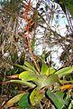 Tillandsia maculata (19618421536).jpg
