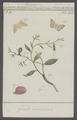 Timandra - Print - Iconographia Zoologica - Special Collections University of Amsterdam - UBAINV0274 058 01 0017.tif