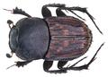 Tiniocellus modestus Arrow, 1908 Syn.- Oniticellus modestus Arrow, 1908; Tiniocellus imbellis (Bates, 1891) (9350519492).png