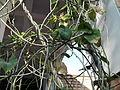 Tinospora cordifolia-BSI-jodhpur-India (2).JPG
