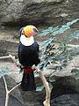 Toco Toucan @ Ueno Zoo (9407071695).jpg