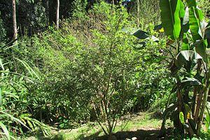 Sophora toromiro - Image: Toromiroadultog 2